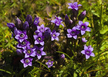 Small purple mountain flowers in spring Stock Images