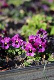 Small Purple Pansy Flowers Blooming royalty free stock photography