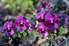 Small Purple Pansy Flowers Blooming stock photography