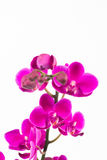 Small purple Phalaenopsis orchids close up Royalty Free Stock Image