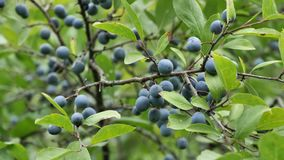 The small purple plums ripening on a branch. stock video footage