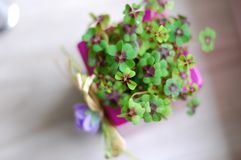Purple pot with clovers. Small purple pot full with four leaf clovers for good luck and happiness stock photos