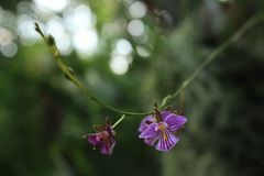 Small Purple Striped Orchids. Small purple-striped orchids against a green background Stock Image