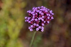 Small purple verbena flowers Stock Images