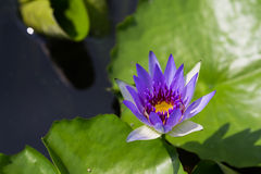 Small purple water lily Stock Photo