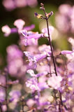 Plectranthus Mona Lavender flowers on a sunny day Stock Photography