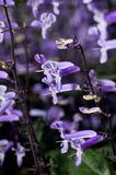 Plectranthus Mona Lavender flowers  Stock Photography