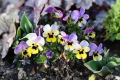 Small Purple and Yellow Pansy Flowers Blooming royalty free stock photo