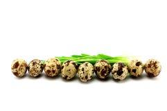 Small quail Easter eggs row  Stock Photo