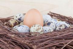 Small quail eggs and big egg. Small quail eggs and big hen's egg in nest Royalty Free Stock Photos