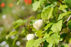 Small quince growing on tree Royalty Free Stock Image