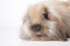 Small rabbit Royalty Free Stock Images