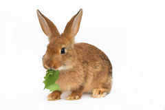 Small rabbit Royalty Free Stock Image