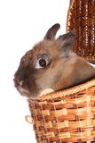 Small rabbit in basket. Royalty Free Stock Images