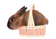 Small rabbit in basket. Royalty Free Stock Image