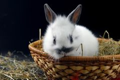 Small rabbit in basket Royalty Free Stock Image
