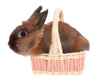 Small rabbit in a basket, isolated. Royalty Free Stock Photography