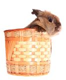Small rabbit in basket, isolated. Stock Image