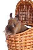 Small rabbit in basket ,isolated. Royalty Free Stock Photo