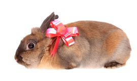 Small rabbit with a bow. Royalty Free Stock Images