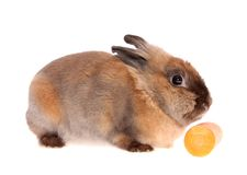 Small rabbit with a carrots. Royalty Free Stock Photography