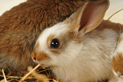 Small rabbit eats Royalty Free Stock Image