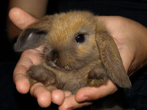 A small rabbit in hands. On a black background Royalty Free Stock Photos
