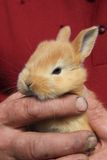 Small rabbit in human hands Royalty Free Stock Image