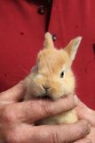 Small rabbit in human hands Royalty Free Stock Photos