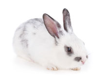 Small rabbit Stock Photography