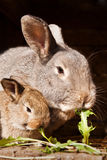 Small rabbit with mum Royalty Free Stock Photos