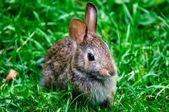 A Small Rabbit 3 Quarter veiw Royalty Free Stock Image