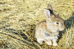 A small rabbit sits on a dry grass hay Royalty Free Stock Photography