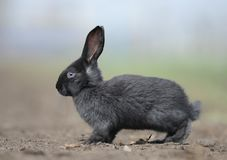 A small rabbit sitting on the ground Royalty Free Stock Photo