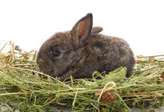 Small rabbit sitting in hay Royalty Free Stock Images