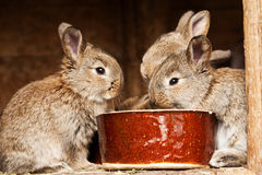 Small rabbits. Small brown rabbits with food Stock Photo
