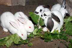 Small rabbits eat green leaves Stock Photography