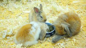 Small rabbits eat and have fun in paddock stock video footage