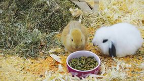 Small rabbits eat and have fun in paddock stock footage