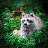 Small raccoon in the grass Stock Images