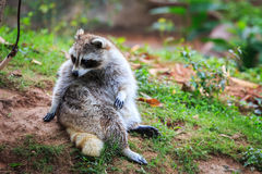 Small raccoon sitting Stock Images