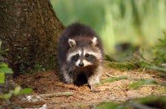 Small raccoon Stock Photography