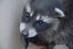 A small racoon - baby Royalty Free Stock Photography