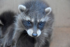 A small racoon - baby Stock Photography