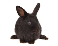 Small racy dwarf black bunny isolated Royalty Free Stock Images