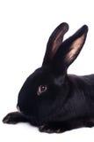 Small racy dwarf black bunny Stock Photo