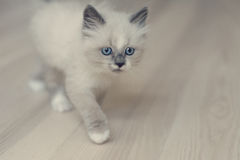 Small Ragdoll kitten royalty free stock images