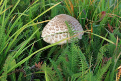 Small ragged parasol in the grass Royalty Free Stock Image