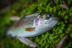 Small Rainbow Trout Royalty Free Stock Images