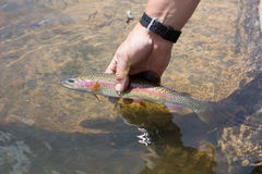 A small rainbow trout in a hand. Mirror Lake, Uinta-Wasatch-Cache National Forest, Utah royalty free stock image